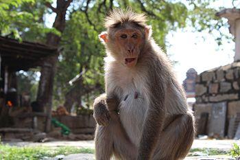 Monkey humpi.jpg