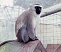Mono paco redondela.JPG