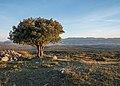 Montes de Vitoria - Quercus ilex 01.jpg