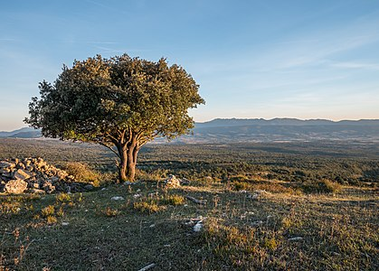 Holm oak (Quercus Ilex Ilex) near Pagogan summit. Montes de Vitoria mountain range, Spain