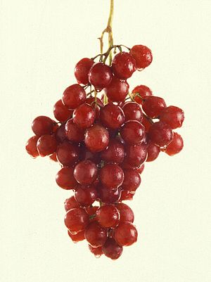 Infructescence - Vitis (grape) infructescence
