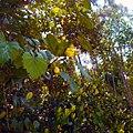 Morikami Museum - Icaco Tree Growing next to Late Rock Garden.jpg