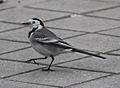 Motacilla alba alba (Madrid, Spain) 05.jpg