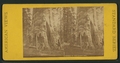 Mother of the Forest, Cal, from Robert N. Dennis collection of stereoscopic views 2.png