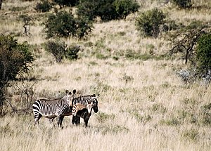 Kap-Bergzebras im Mountain-Zebra-Nationalpark