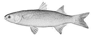 Mullet (fish) -  Mugil cephalus