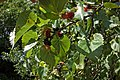 Mulberries on tree 3.jpg