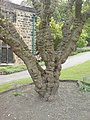 Mulberry Tree at Abbey House Museum - geograph.org.uk - 1322861.jpg