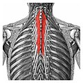 Muscles-of-the-human-spine.jpg