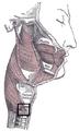 Musculuscricopharyngeus.PNG