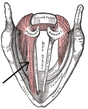 Thyroarytenoid muscle - Muscles of the larynx, seen from above.