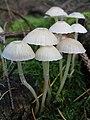 Mushroom-IMG 4571.JPG