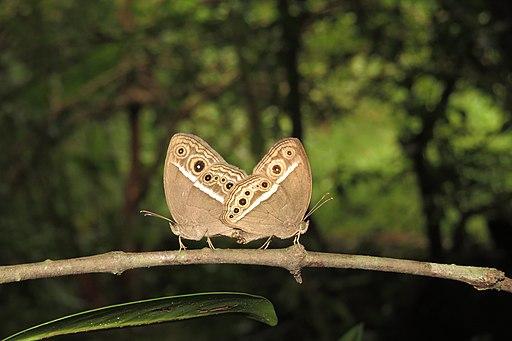 Mycalesis species mating at Peravoor 2014 (35)