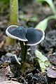 Mycenella lasiosperma (Bres.) Locq 442615.jpg