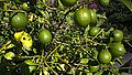 N20141104-0001—Citrus × limon—Berkeley (15210323713).jpg