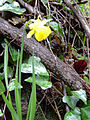 Narcissus munozii-garmendiae Habitus SierraMadrona.jpg