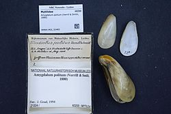 Naturalis Biodiversity Center - RMNH.MOL.32482 3 - Amygdalum politum (Verrill & Smith, 1880) - Mytilidae - Mollusc shell.jpeg