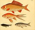 Naturgeschichte in Bildern mit erläuterndem Text (Taf. CXLIII) (6059231618).jpg