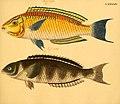 Naturgeschichte in Bildern mit erläuterndem Text (Taf. XCIV) (6059221388).jpg