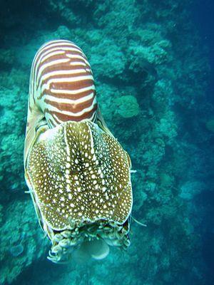 Nautilus belauensis - Image: Nautilus from above
