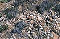 Navajoa peeblesiana ssp menzelii fh 500 0 AZ BB.jpg