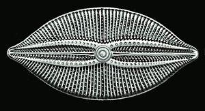 Navicula - Navicula bullata