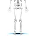 Navicular bone16.png