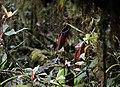 Nepenthes densiflora (8187874529).jpg