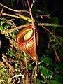 Nepenthes flava.jpg