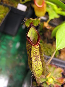 Nepenthes hamataPitcher.jpg