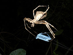 Net-throwing Spider, Ankarafantsika, Madagascar (4022348831).jpg