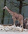 Netzgiraffe (Giraffa camelopardalis reticulata) Tierpark Hellabrunn-2.jpg