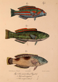 Neue Wirbelthiere zu der Fauna von Abyssinien gehörig (1835) Thalassoma purpureum & Coris aygula.png