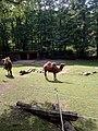 Neunkirchen Zoo, Trampeltiere .jpg