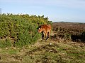 New Forest Pony - geograph.org.uk - 311922.jpg