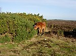 File:New Forest Pony - geograph.org.uk - 311922.jpg