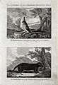 New Holland; above, a kangaroo; below, an opossum. Etching b Wellcome V0022835EL.jpg