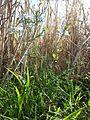 Nigella arvensis sl37.jpg