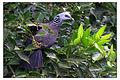 Nilgiri Wood Pigeon by N A Nazeer.jpg