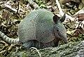Nine-banded Armadillo (Dasypus novemcinctus) (37649606094).jpg