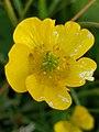 Noordwijk - Boterbloem (Ranunculus sp.).jpg