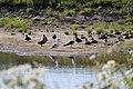 Noordwijk - Two sea-gulls with other birds.jpg