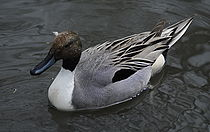 Northern pintail.jpg