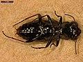 Notiophilus biguttatus (26563981567).jpg