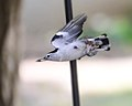 Nuthatch in flight 09-26-2012 151.jpg