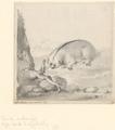 Nycticebus coucang - 1710-1792 - Print - Iconographia Zoologica - Special Collections University of Amsterdam - UBA01 IZA1000698.tif