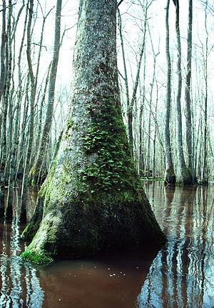 Alligator River National Wildlife Refuge - Nyssa sylvatica tree in the Alligator River National Wildlife Refuge