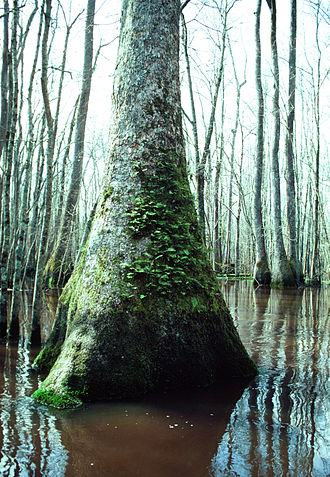 Nyssa aquatica - Swollen trunk base, in swamp habitat