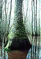 Nyssa aquatica tree.jpg