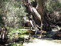 OIC carine lake carine wetland vegetation.jpg